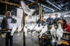 Nemzeti-galamb-baromfi-nyúl-és-díszmadár-kiállítás-Hungexpo-2019-21